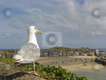 Herring gull (Larus argentatus), St. Ives, Penwith, Cornwall, Southwest England, UK