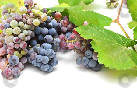Wild Grape And Leaves stock photo, Wild grapes and leaves in various degrees of ripeness by Lynn Bendickson