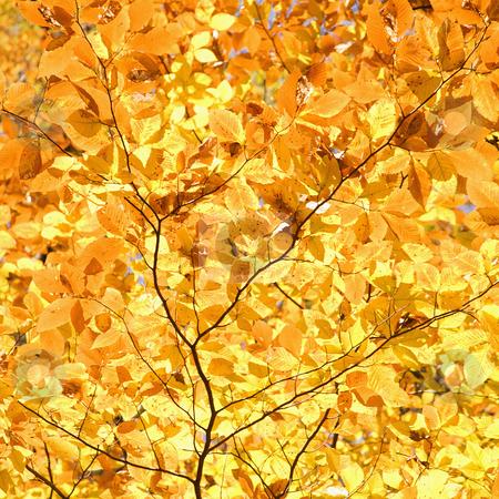 Yellow Fall foliage. stock photo