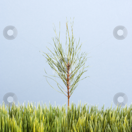 Sapling tree and grass. stock photo, Tiny pine sapling growing in strip of artificial green grass against blue background. by Iofoto Images
