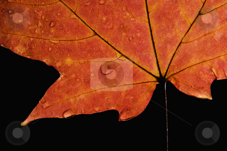 Maple leaf macro. stock photo, Close-up of Sugar Maple leaf in Fall color sprinkled with water droplets against black background. by Iofoto Images