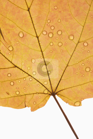 Maple leaf close up. stock photo, Close-up of Sugar Orange Maple leaf sprinkled with water droplets against white background. by Iofoto Images