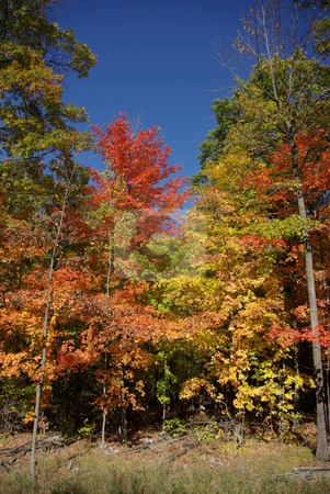 Bright fall leaf colors stock photo, Minnesota trees in northern Minnesota reach peak autumn colors most years by the first week of October. by Dennis Thomsen