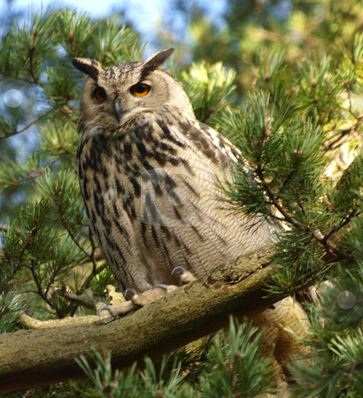 Eurasian Eagle-owl stock photo, An Eurasian Eagle-owl in a tree (Forest in South Finland) by Lars Kastilan