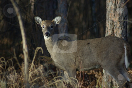 Assessing danger stock photo, A young doe, caught in a patch of late afternoon sun, in a Minnesota forest looks and pauses with uncertainty before natural insincts take over and the deer disappears into the forest. by Dennis Thomsen