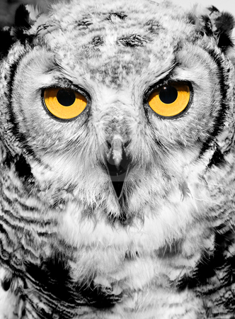 Portrait of owl stock photo, Portrait of owl with yellow eyes by Laurent Renault