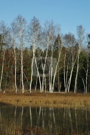 Graceful white birch trees  stock photo, White birch trees on the edge of a weedy pond reflect their leaf free image and special grace. by Dennis Thomsen