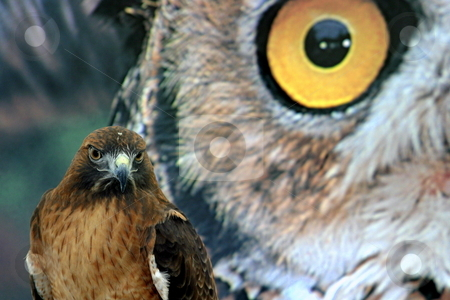 Hawk Eyes stock photo, Red tailed hawk in front of a poster with a owl. by Henrik Lehnerer