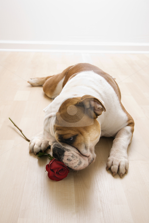 Dog sniffing red rose. stock photo, English Bulldog lying on floor sniffing long-stemmed red rose. by Iofoto Images