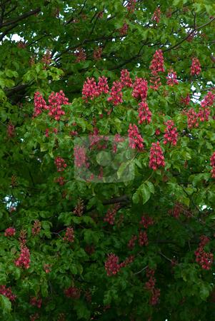 Rosskastanien (Aesculus) - Buckeyes and horse-chestnuts stock photo, Die Rosskastanien (Aesculus) sind eine Pflanzengattung in der Familie der Seifenbaumgew?chse (Sapindaceae). - The genus Aesculus, the buckeyes and horse-chestnuts, comprises 20 by Wolfgang Heidasch