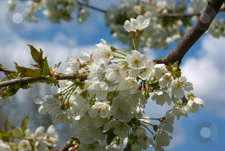 Kirschbl?te im Fr?hling - Cherry blossoms in the spring stock photo, Kirschbl?te im Fr?hling - Cherry blossoms in the spring by Wolfgang Heidasch