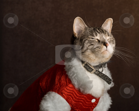 Shy Cat stock photo, A shy cat closing his eye for his Christmas portrait by Richard Nelson