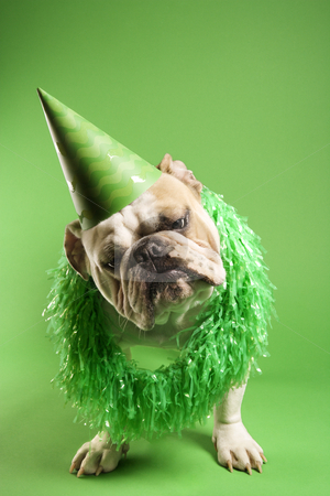 Bulldog in party hat. stock photo, English Bulldog with curious expression wearing lei and party hat and sitting on green background. by Iofoto Images