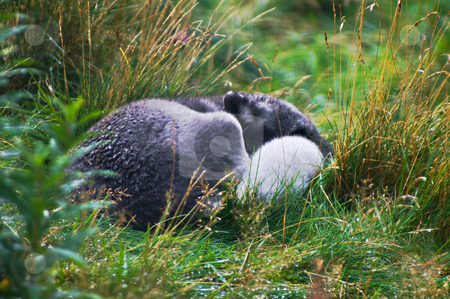 Polar fox stock photo, Polar fox lying curled up on grass all wet from the rain by Karin Claus