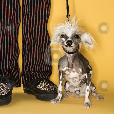 Chinese Crested dog with man. stock photo, Chinese Crested dog on leash standing next to man's legs. by Iofoto Images