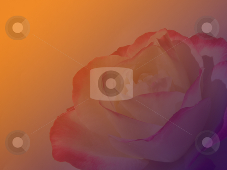 Fading rose stock photo, A beautiful rose fading into pink and orange by Rob Wright