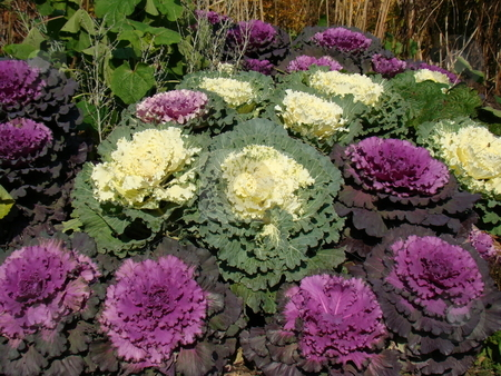 Colorful Winter Cabbage stock photo, A beautiful display of colorful winter cabbage by CHERYL LAFOND