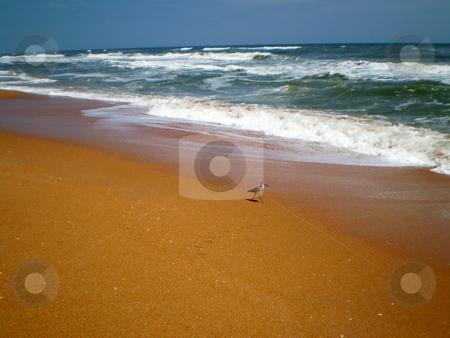 Beach stock photo, Sandpiper walking at the seashore by CHERYL LAFOND