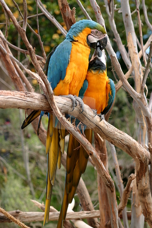 Blue And Gold Macaw stock photo, The Blue-and-yellow Macaw (Ara ararauna), also known as the Blue-and-gold Macaw, is a member of the macaw group of parrots which breeds in the swampy forests of tropical South America from Panama south to Brazil, Bolivia, Paraguay and Trinidad. It is an endangered species in Trinidad. by Henrik Lehnerer