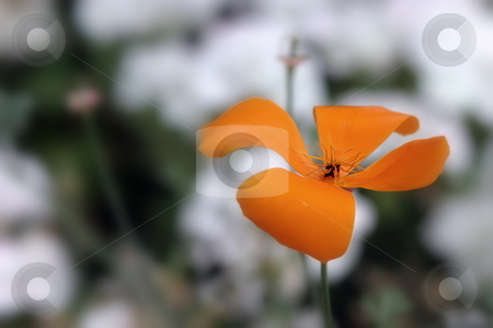 California Poppy stock photo, Beautiful native orange California Poppy with a light background. by Henrik Lehnerer