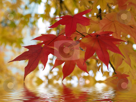 Beautiful autumn red yeallow  leaves reflection stock photo, Beautiful autumn red yellow  leaves reflecting in river by Laurent Dambies