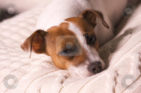 Jack Russell Terrier Portrait stock photo, Jack Russell Terrier Dog Portrait on Pillow by Andy Dean