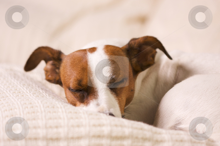 Jack Russell Terrier Portrait stock photo, Jack Russell Terrier Dog Portrait on Pillow by Andy Dean