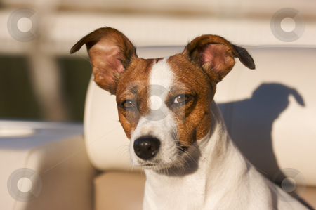 Jack Russell Terrier Portrait stock photo, Majestic Jack Russell Terrier Dog Portrait by Andy Dean