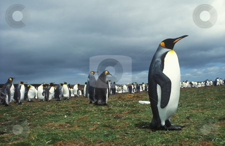 King pinguins stock photo, Colony king pinguins in Falkland islands by Seregey Korotkov