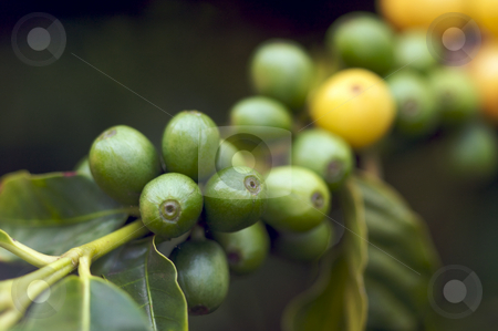 Coffee Beans on the Branch stock photo, Coffee Beans on the Branch in Kauai, Hawaii by Andy Dean