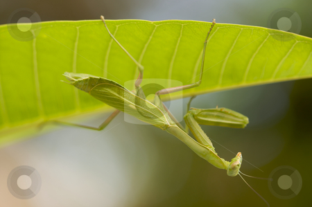 Praying Mantis stock photo, Praying Mantis against a green background with narrow depth of field. by Andy Dean