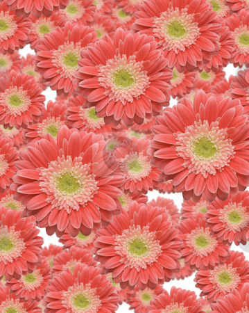 Falling Gerber Daisies stock photo, Falling Gerber Daisies with variable depth of field. by Andy Dean