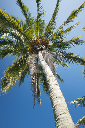Palm Tree stock photo, Palm Tree against a blue sky. by Andy Dean