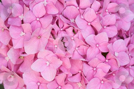 Beautiful Hydrangea Blossoms stock photo, Beautiful Hydrangea Blossoms Macro by Andy Dean