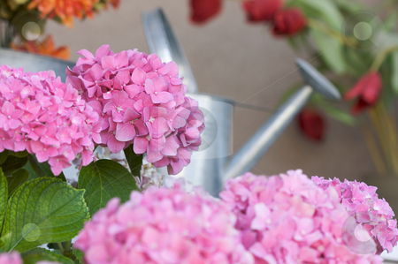Beautiful Hydrangea Blossoms stock photo, Beautiful Hydrangea Blossoms on Porch by Andy Dean