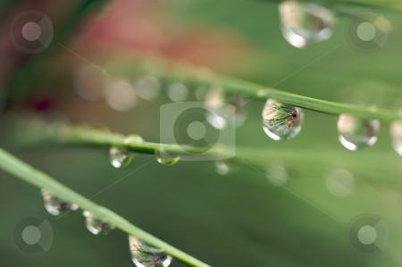 Water Drops on Pine Needles stock photo, Macro Image of Water Drops on Pine Needles by Andy Dean
