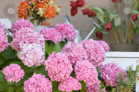 Beautiful Hydrangea Blossoms stock photo, Beautiful Hydrangea Blossoms on Porch by Andy Dean