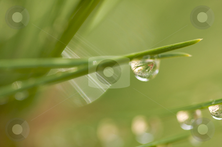 Water Drops on Pine Needles stock photo, Macro Image of Water Drops on Pine Needles by Andy Dean