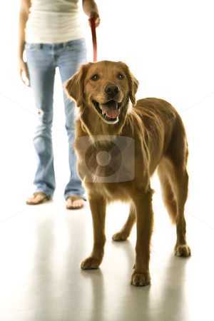 Dog on leash with girl. stock photo, Golden Retriever dog on leash with adolescent female Caucasian. by Iofoto Images