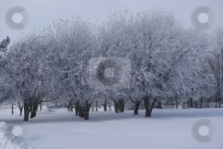 Frost decorated orchard stock photo, A small grove of apple trees is covered with snow and frost on a cold Iowa wintry day. by Dennis Thomsen