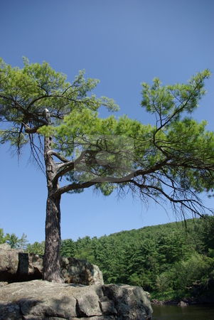 Stubborn pine tree stock photo, This stubborn pine tree grows out of solid glacial bedrock on top of a cliff overlooking the St. Croix River near Taylor Falls, Minnesota.  Taylor Fall is a favorite day trip from the Twin Cities where travelers can hike, rock climb and enjoy nature's views and the 100 foot glacial cliffs. by Dennis Thomsen