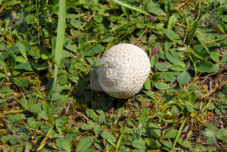 Puffball stock photo, A spiky puffball mushroom nesting in lush green grass by Joanna Szycik