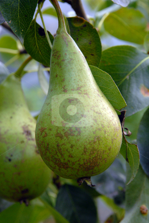 Pear stock photo, This pear has just a little more growing to do before it is completely ripe. it will soon be delicious by Joanna Szycik