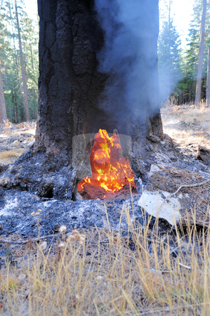 Burning Tree In The Forest stock photo, Interior of a tree on burning during a forest fire. by Lynn Bendickson