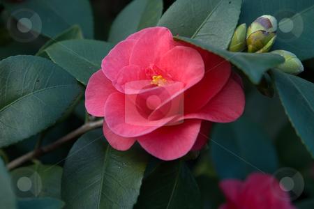 Kamelie, Camellia stock photo, Die Kamelie (Camellia japonica) ist in Ostasien beheimatet und eng mit dem Teestrauch verwandt. by Wolfgang Heidasch