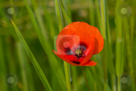 Mohnblume stock photo, Mohnblume by Wolfgang Heidasch
