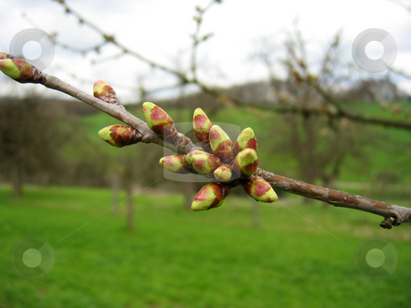 Buds on branch stock photo,  by Wolfgang Heidasch