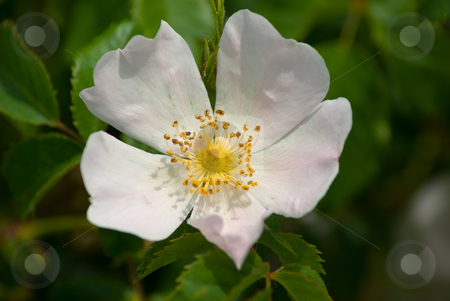 Hunds-Rose (Rosa canina) - Dog Rose Rosehip stock photo, Die Hunds-Rose (Rosa canina), vielfach auch Hundsrose, ist die mit Abstand h?ufigste wild wachsende Rosenart in Mitteleuropa. Sie wird auch Hagrose oder Heckenrose genannt. - Rosa canina (lit. Dog Rose, often called incorrectly Rosehip) is a variable scrambling rose species native to Europe, northwest Africa and western Asia. by Wolfgang Heidasch