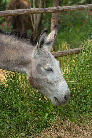 Esel - Ass stock photo, Der Hausesel (Equus asinus asinus) ist ein weltweit verbreitetes Haustier. - The donkey or ass, Equus asinus, is a member of the Equidae or horse family, and an odd-toed ungulate. by Wolfgang Heidasch
