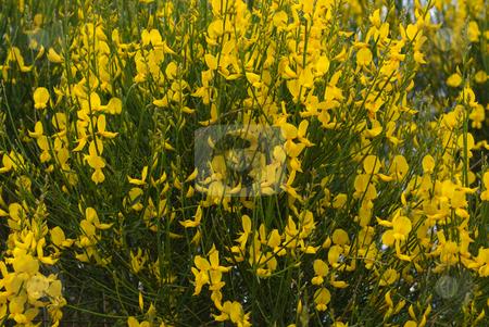 Ginster (Genista), Broom stock photo, Die Ginster (Genista) sind eine Pflanzengattung, die zu den Schmetterlingsbl?tlern (Faboideae) geh?rt. -  Genista is a genus of legumes which includes many species of broom. by Wolfgang Heidasch